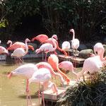 愛媛県立とべ動物園のフラミンゴです。春に日差に輝いていました。      ・フラミンゴまぶしき春の日差かな(和良)
