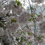 東京・北品川の御殿山では八重桜だけが咲き誇っていました。 ・真打のまかりいでたり八重桜 (和良)