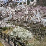 東かがわ市の山間部にある白鳥温泉では、川の両岸に桜が咲き競っていました。  ・華やぎを集めて桜咲き満てる(和良)