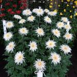 新宿御苑の江戸菊花壇の菊は江戸時代より受け継いできたものです。   ・江戸っ子の自慢の菊と伝えられ(和良)