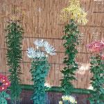 肥後菊花壇の肥後菊は武士の精神修養として育てられてきました。    ・肥後菊を育ててきしは武士と聞く(和良)