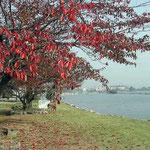琵琶湖畔の会社の研究所で見た桜紅葉です。綺麗でした。 ・紅葉してもう散ってゐる桜かな(和良)