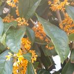 金木犀の香りは朝よりも夕べの方が強いように感じました。  ・夕べには金木犀の香にあふれ(和良)
