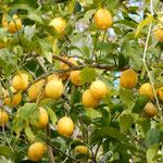 実習地には檸檬の木もあり、たくさんの実を付けていました。              ・廃校となりし農大檸檬生る(和良)