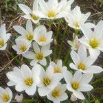 藍住町の草の刈られた空地に今年も玉簾が咲いていました。  ・草刈れば花茎の出でて玉簾(和良)