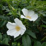 藍住町の薔薇園にはバラ科の花の浜茄子も咲いていました。       ・薔薇園にバラ科の花の浜茄子も(和良)