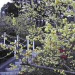 徳島市の文化の森の裏山で蝋梅を見ました。満開でした。 ・蝋梅の花花花と咲きにけり (和良)