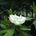 周辺に古墳や遺跡が残されている史跡公園で見た泰山木の花です。            ・泰然と日を浴び泰山木の花(和良)