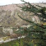 カッパドキアで見たレバノン杉(名前は杉ですが実は松)です。新松子が一杯でした。  ・新松子奇岩怪石指呼の間に (和良)