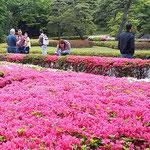 皇居東御苑の二の丸庭園の躑躅に外国人も見惚れていました。      ・外つ国の人も御苑の躑躅観に(和良)