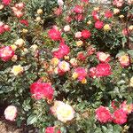 徳島城公園の薔薇園に人目を引く薔薇がありました。              ・際立てる薔薇はチャールストーンなる(和良)