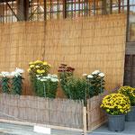 近江八幡市の城下町にある観光案内所で見た菊の展示です。        ・菊展示して御城下の案内所(和良)