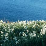 灘黒岩水仙郷の南岸の崖は海に真っ逆さまに落ちていました。      ・水仙の傾れ咲き落つ海の青(和良)