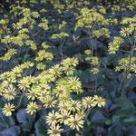 皇居東御苑の石蕗の花です。雨の中に輝いて見えました。  ・暮れ始む雨の御苑の石蕗の花 (和良)