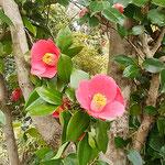 阿南市椿町の椿自然園の椿です。700種類の椿が咲いていました。    ・椿咲く幹から直に咲くもあり(和良)