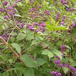 吉野川市の藤井寺の門前で見た紫式部です。実をつけていました。    ・先端はまだ緑なる式部の実(和良)