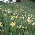 淡路島の灘黒岩水仙群では例年より一ヶ月も早く盛りを迎えたそうです。 ・水仙の仕舞ひの花の凜として(和良)