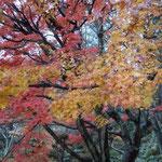 香川県さぬき市の大窪寺で見た冬紅葉です。雨に濡れて色鮮やかでした。 ・いやまして色濃き冬の紅葉かな(和良)