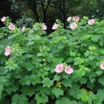 皇居東御苑の芙蓉が満開になりました。台風が心配でした。 ・台風の前の静けさ花芙蓉 (和良)