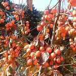 皇居東御苑の本丸跡広場には鈴生りのままに柿が残っていました。    ・犇めけるままに残ってをりし柿(和良)