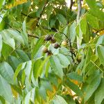 深大寺の無患子の大樹はたくさんの実をつけていました。  ・葉と葉との間に無患子顔出して(和良)