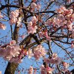 徳島市の原田家屋敷の蜂須賀桜です。一足早いお花見をしてきました。  ・こんなにも蜂須賀桜紅きかな(和良)