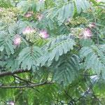 神山町の森林公園で見た合歓の花です。雨に濡れて美しかったです。  ・糠雨に紅煙りをり合歓の花(和良)