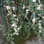 千代尼塚の前にあった白萩です。少しこぼれていました。 ・白萩や加賀の千代女といひし人 (和良)