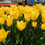北島町のチューリップ園では綺麗に並んだ姿が美しかったです。 ・並ぶとは美しきことチューリップ(和良)