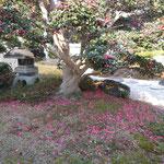 徳島市八万町の長屋門のある屋敷に山茶花が咲き零れていました。            ・長屋門入れば山茶花散り敷きて(和良)