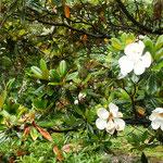 徳島市の文化の森の泰山木はたくさん花をつけていました。         ・なほ上に泰山木の花数多(和良)