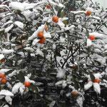 大寒波襲来。我が家の庭の金柑にも雪が積もりました。  ・金柑に置きし朝雪まぶしかり