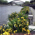 藍住町の正法寺川岸辺に咲いた花菖蒲です。のどかな風景でした。 ・魚跳ねて又静かなリ花菖蒲(和良)