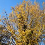 徳島県石井町の新宮神社では銀杏の大樹が青空に突っ立っていました。          ・雲一つなき空青し銀杏散る(和良