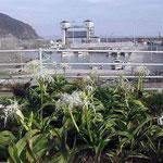 高校の同窓会が阿南市・伊島でありました。港で見た浜木綿です。 ・浜木綿の咲きし港に集ひたり(和良)