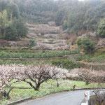 神山町広野の梅林です。どの梅も満開でした。                      ・石垣の作り上げたる梅の里(和良)
