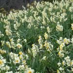 風車の丘からなだれ咲く水仙は向きが揃っていました。                                 ・なだれ咲く水仙どれも下を向き(和良)