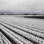 南国・徳島に雪です。鶺鴒が一羽飛び回っていました。 ・雪の原白鶺鴒の白さかな(和良)