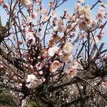 吉野川市鴨島町の梅林には蜜蜂がたくさん来ていました。        ・蜜蜂の羽音の唸る梅仰ぐ(和良)