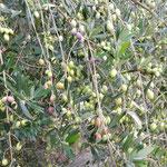 オリーブ公園のオリーブの実は地面にまでしだれていました。 ・鈴生りのオリーブの実の地まで垂れ(和良)