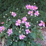 「とうふ屋うかい」には季節の花が咲いていました。                                  ・庭隅に秋明菊の花明かり(和良)