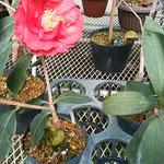温室では接木された椿が早くも花をつけていました。          ・接木さる椿大きな花付けて(和良)