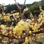 雨滴を置いた臘梅の花は艶やかに蝋を透かせていました。  臘梅の蝋透き通る雨滴(和良)