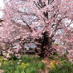 お花見会は中止になりましたが原田家住宅の蜂須賀桜は満開でした。 ・江戸の世を今に蜂須賀桜咲く(和良)