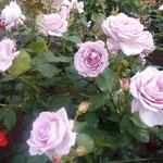 薔薇園には紫色の薔薇もあり、眩しく輝いて見えました。           ・紫の眩しき薔薇もありにけり(和良)