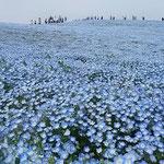茨城県ひたちなか市の国営ひたち海浜公園のネモフィラです。      ・麗かにネモフィラの花咲き満てる丘(和良)