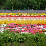 ゴッホならどう描くだろうかと想像してみたくなる風景でした。     ・ゴッホにも見せたし夏の花畑(和良)