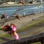 徳島城公園では蜂須賀桜が咲き始めました。遊覧船ものどかに見えました。  ・遊覧船蜂須賀桜咲き始む(和良)