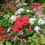秋雨の止んだ後の上野公園の花壇は一段と美しく見えました。      ・秋雨に蘇りたる花壇かな(和良)