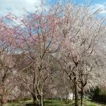 神山町のしだれ桜は毎年見事な花が咲くようになりました。 ・年毎のしだれ桜のしだれやう(和良)